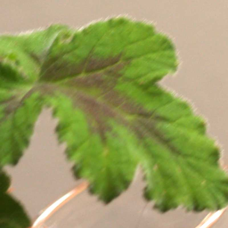 pelargonium exchange on